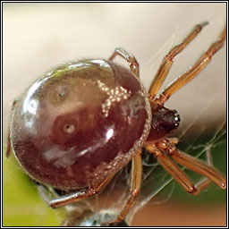 Steatoda nobilis, False Widow Spider