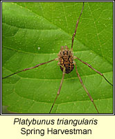 Platybunus triangularis, Spring Harvestman