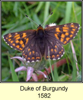 Duke of Burgundy, Hamearis lucinda