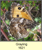 Grayling, Hipparchia semele