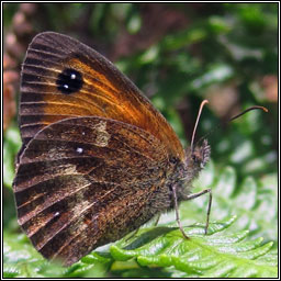 Gatekeeper / Hedge Brown, Pyronia tithonus