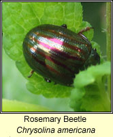 Chrysolina americana, Rosemary Beetle