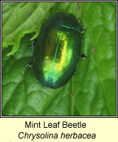 Chrysolina herbacea, Mint Leaf Beetle