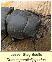 Dorcus parallelipipedus, Lesser Stag Beetle