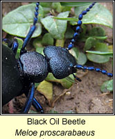 Meloe proscarabaeus, Black Oil Beetle