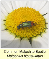 Malachius bipustulatus, Common Malachite Beetle
