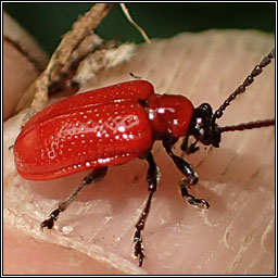 Lilioceris lilii, Red Lily Beetle