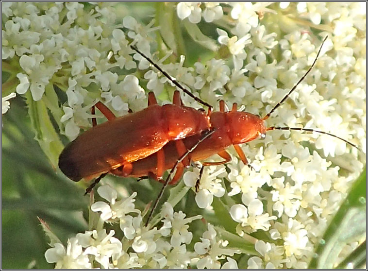 Rhagonycha fulva, Common Red Soldier Beetle