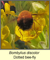 Bombylius discolor, Dotted bee-fly