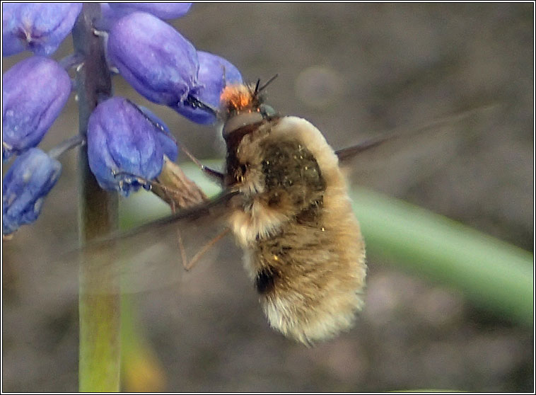 Bombylius major, Dark-edged Bee-fly