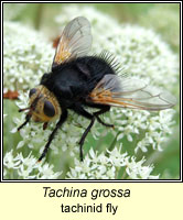 Tachina grossa, tachinid fly