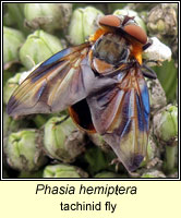 Phasia hemiptera, tachinid fly