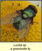 Lucilia sp, a greenbottle