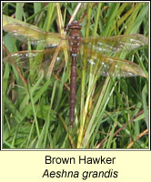 Aeshna grandis, Brown Hawker