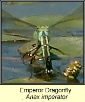 Anax imperator, Emperor Dragonfly