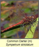 Sympetrum striolatum, Common Darter
