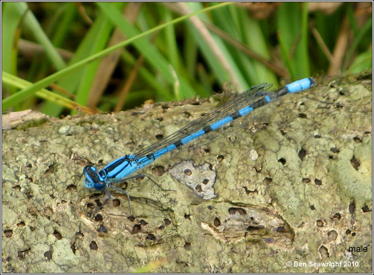 Common Blue Damselfly, Enallagma cyathigerum