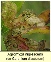 Agromyza nigrescens