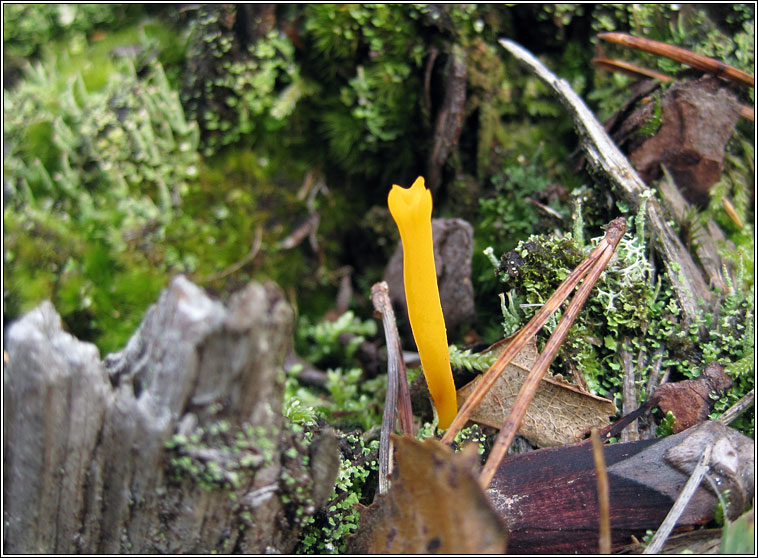 Yellow Club, Clavulinopsis helvola