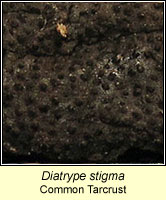 Diatrype stigma, Common Tarcrust