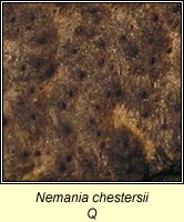 Nemania chestersii