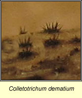 Colletotrichum dematium