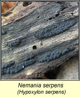 Nemania serpens, Hypoxylon serpens