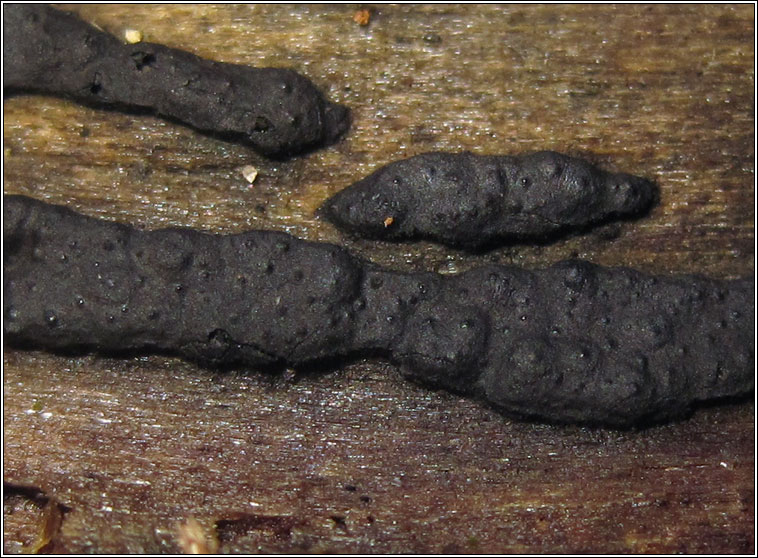 Hypoxylon serpens