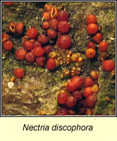 Nectria discophora