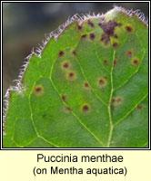 Puccinia menthae