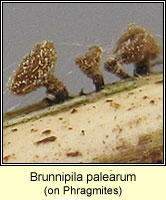 Brunnipila palearum
