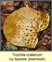 Trochila craterium, Ivy Speckle, anamorphic stage