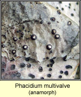 Phacidium multivalve