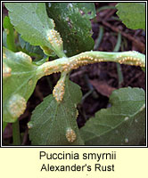 Puccinia smyrnii, Alexander's Rust