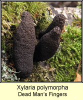 Xylaria longipes, Dead Moll's Fingers