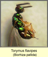Torymus flavipes, male