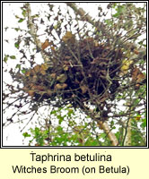 Taphrina betulina, Witches Broom