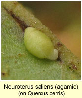 Neuroterus saliens, agamic