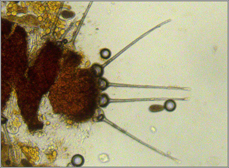 Phyllactinia orbicularis
