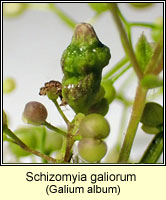 Schizomyia galiorum