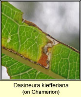 Dasineura kiefferiana