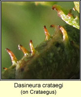 Dasineura crataegi