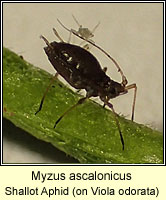 Myzus ascalonicus, Shallot Aphid