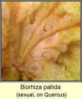 Biorhiza pallida (sexual)