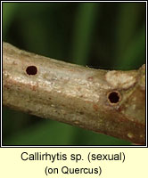 Callirhytis sp (sexual)