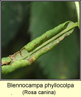 Blennocampa phyllocolpa