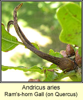 Andricus aries, Ram's-horn Gall