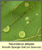 Neuroterus albipes, Smooth Spangle Gall