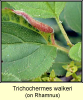 Trichochermes walkeri