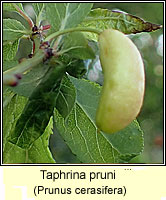 Taphrina pruni, Pocket Plum